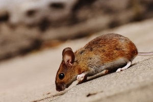 Mouse extermination, Pest Control in Redbridge, IG4. Call Now 020 8166 9746