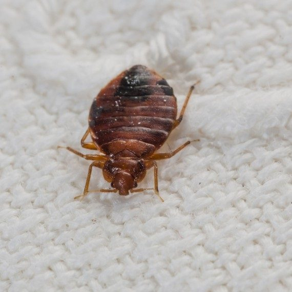 Bed Bugs, Pest Control in Redbridge, IG4. Call Now! 020 8166 9746