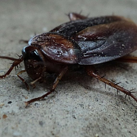 Cockroaches, Pest Control in Redbridge, IG4. Call Now! 020 8166 9746