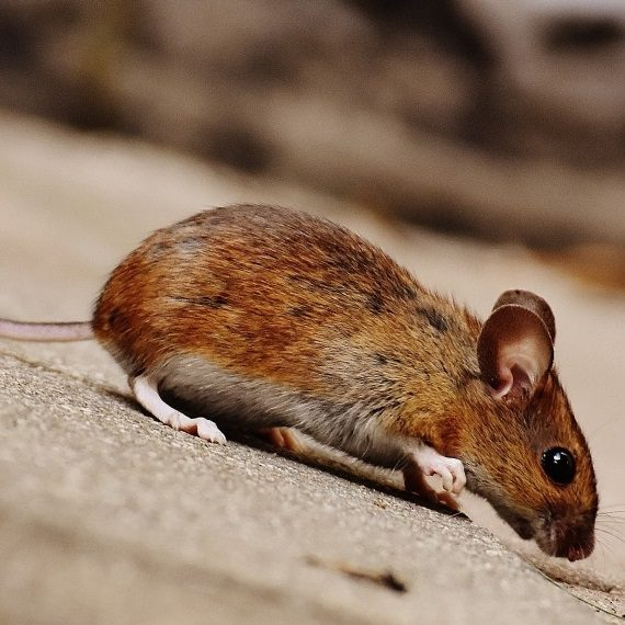 Mice, Pest Control in Redbridge, IG4. Call Now! 020 8166 9746